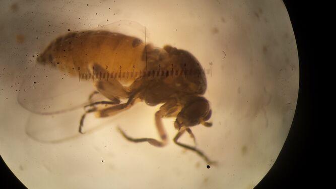 Adulto de mosca negra.