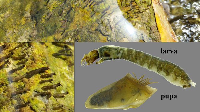 Larvas de mosca negra y detalle de la larva y pupa.